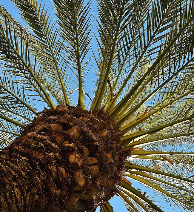 Especialización en trabajos con palmeras. 24 al 27 de marzo. Tacoronte