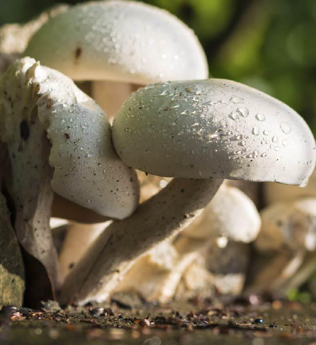 Cultivo artesanal de setas y champiñones, 26 al 28 de octubre en Tacoronte